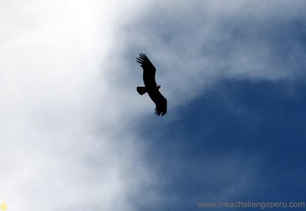 condor observation peru
